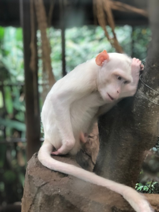 Rare white monkey at Kuala Lumpur towers mini zoo