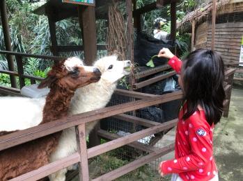 Llama feeding at Kuala Lumpur towers mini zoo