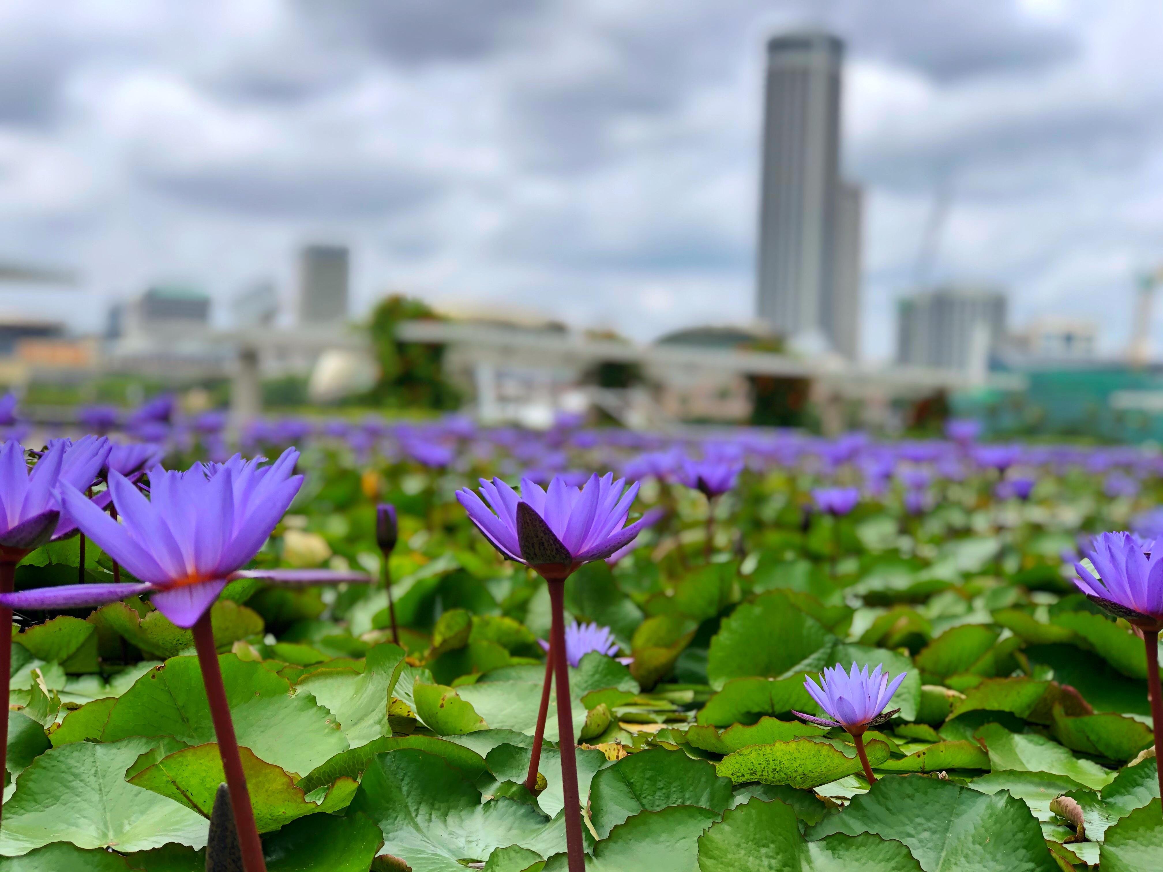 lotus at Art Science Museum